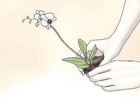Як доглядати за орхідеями
